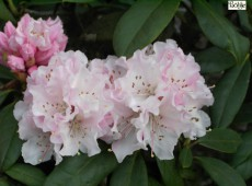 Rhododendron Hybride 'Christmas Cheer'