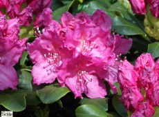 Rhododendron Hybride 'Claudine'