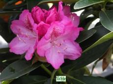 Rhododendron Hybride 'Constanze'
