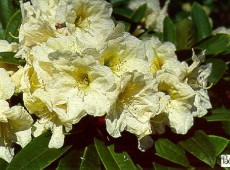 Rhododendron Hybride 'County of York'