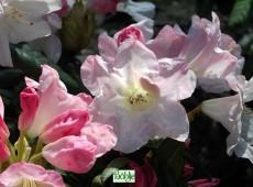 Rhododendron Hybride 'Creme Rose'