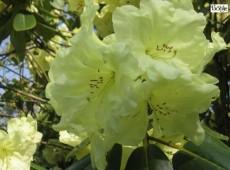Rhododendron Hybride 'Cream Crest'
