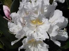 Rhododendron Hybride 'Cunninham's White'