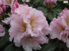 Rhododendron Hybride 'Dagmar'