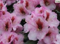 Rhododendron Hybride 'Diadem'
