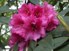 Rhododendron Hybride 'Direktör E Hjelm'