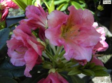 Rhododendron Hybride 'Dolcemente'