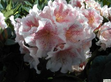 Rhododendron Hybride 'Double Dots'