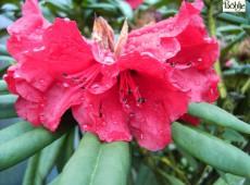 Rhododendron Hybride 'Double Winner'