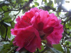Rhododendron Hybride 'Duchess of Cornwall'