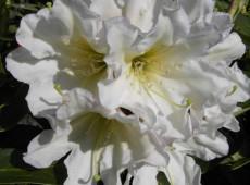 Rhododendron Hybride 'INKARHO - Dufthecke' weiß ®