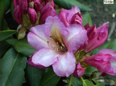 Rhododendron Hybride 'Duke of York'