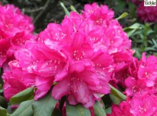 Rhododendron Hybride 'Edward S. Rand'