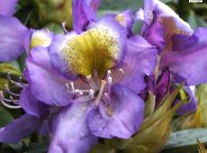 Rhododendron Hybride 'Edwin O Weber'
