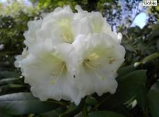 Rhododendron Hybride 'Elfenfee'