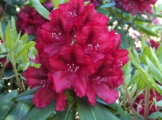 Rhododendron Hybride 'Erato' ®