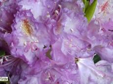 Rhododendron Hybride 'Everestianum'