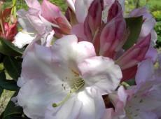 Rhododendron Hybride 'Faggetter's Favourite'