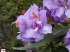Rhododendron Hybride 'Fastuosum Flore Pleno'