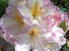Rhododendron Hybride 'Feenschleier'