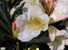 Rhododendron Hybride 'Flautando'