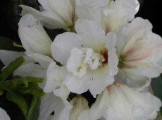 Rhododendron Hybride 'Füllhorn'