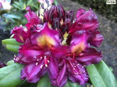 Rhododendron Hybride 'Frank Galsworthy'