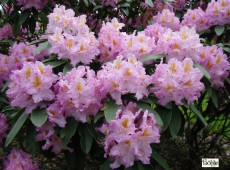 Rhododendron Hybride 'Frundsberg'