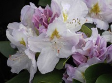 Rhododendron Hybride 'Genoveva'