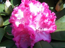 Rhododendron Hybride 'Germania' ®