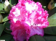 Rhododendron Hybride 'Germania' ®