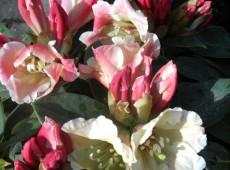 Rhododendron Hybride 'Gerstenkorn'