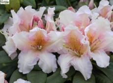 Rhododendron Hybride 'Gloria'