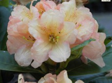 Rhododendron Hybride 'Golden Harmony'