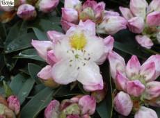 Rhododendron Hybride 'Goldfinch'