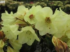 Rhododendron wardii 'Goldjuwel'