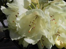 Rhododendron wardii 'Goldkrone' ®