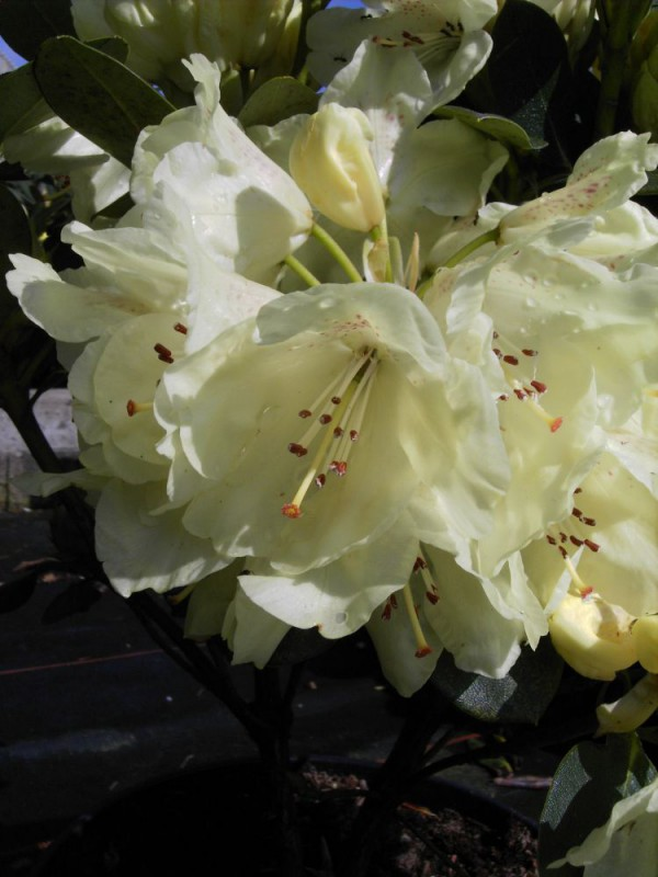 rhododendron wardii 39 goldkrone 39 b hlje pflanzenhandel gmbh. Black Bedroom Furniture Sets. Home Design Ideas