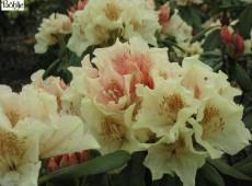 Rhododendron Hybride 'Goldsworth Yellow'