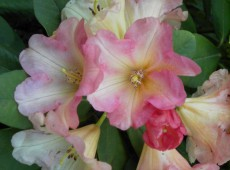Rhododendron Hybride 'Goldzauber'