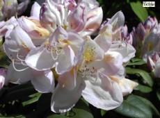 Rhododendron Hybride 'Gomer Waterer'