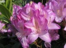 Rhododendron 'Gowenianum'  Syn. 'Govenianum'