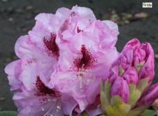 Rhododendron Hybride 'Gräfin Sonja'