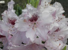 Rhododendron Hybride 'Göteborg'