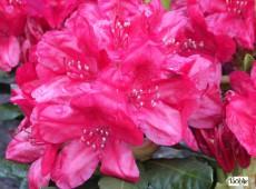 Rhododendron Hybride 'Hachmann's Feuerschein' -S-