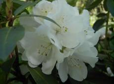 Rhododendron Hybride 'Helene Schiffner'