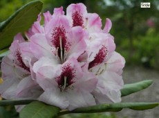 Rhododendron Hybride 'Herbstfeude'
