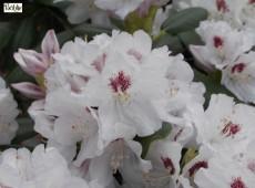 Rhododendron Hybride 'Hermann Backhus'