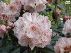 Rhododendron Hybride 'Hille'
