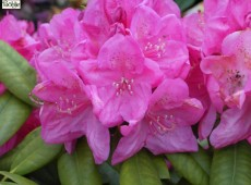 Rhododendron Hybride 'Homer'